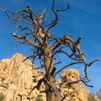 Dead Tree in JT