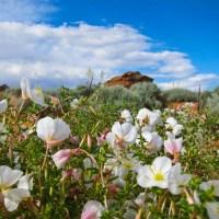 Dune Wildflowers