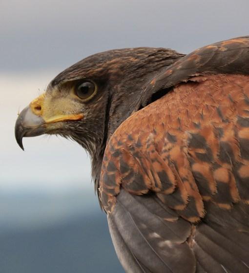 Birds of Prey - Oiseaux de proie - Mont-Tremblant