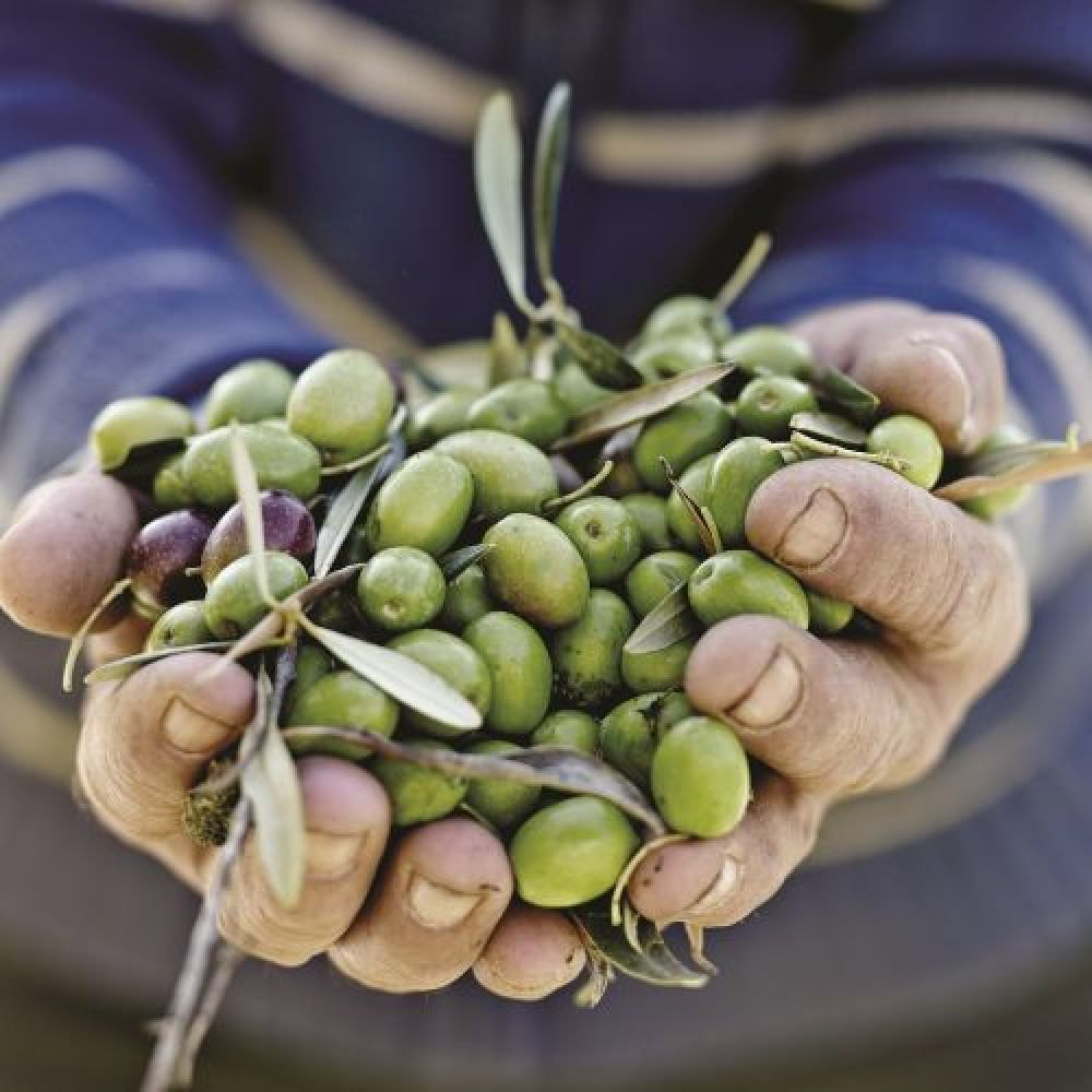 Olive Selection The type of soil and climate where olive trees are grown will affect a variety of the crop's characteristics, including the size of each olive and the richness of the oil that it produces.