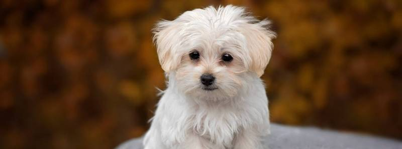 Remove Tear Stains From Maltese
