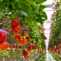 Osram Reveal Best LED For Food Growers