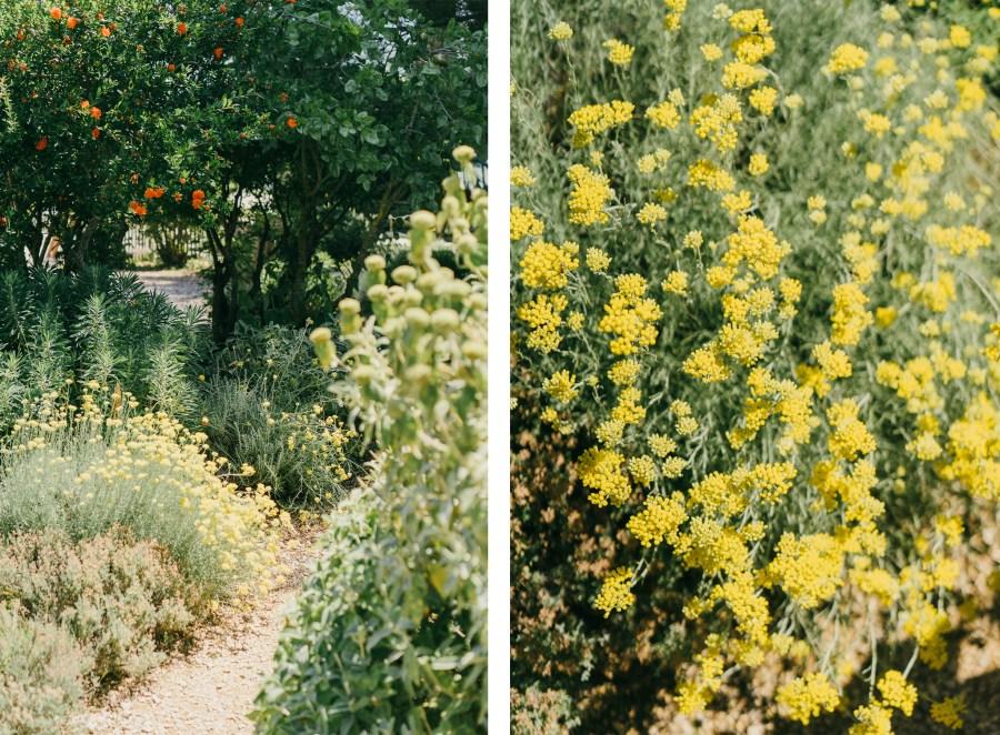 Jardin-Sanoflore---Immortelles
