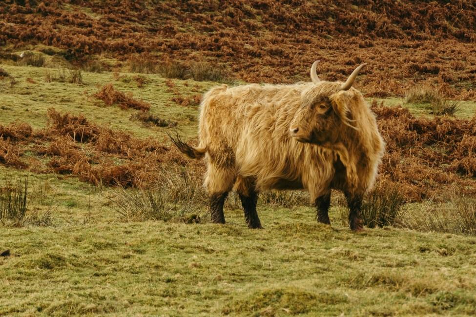 Ecosse - Ile de Skye - Highland Cattle