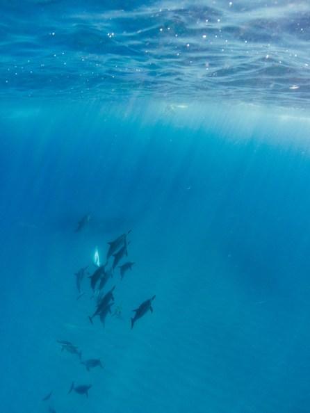 Dauphins - Photo sous-marine - Ile Maurice