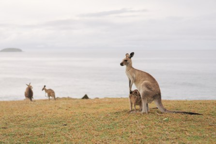 Kangourou - Emerald Beach - Australie