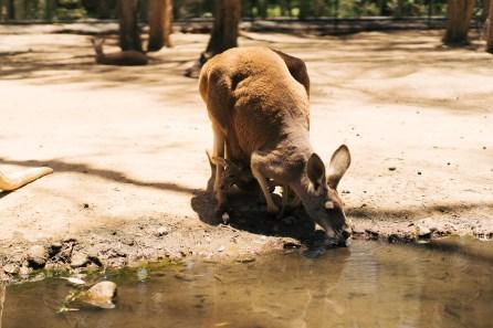 Kangourou - Wildlife protection - Gold Coast