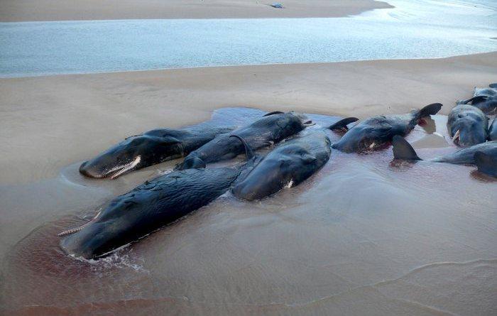 Nuova Zelanda:in 1000 per salvare balene