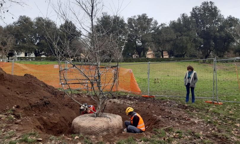 A Villa Borghese è stato piantato un platano 'clonato' da un albero del '600