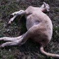 Siamo proprio sicuri che le pecore morte in Bondone siano vittime dell'orso?