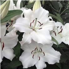 Lilies Oriental