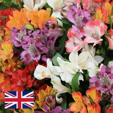Alstroemeria English Grown Mix - PREMIUM GRADE