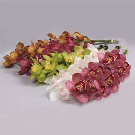 CYMBIDIUM ORCHIDS GIANT MIX
