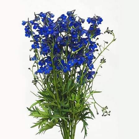 DELPHINIUM BLUE SHADOW