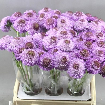 SCABIOUS SOFT SCOOP
