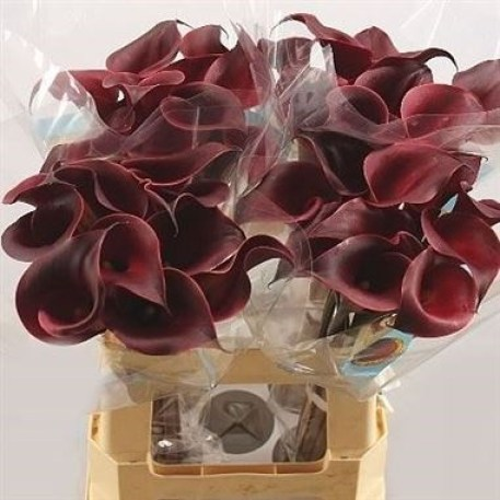 CALLA LILY RED CHARM