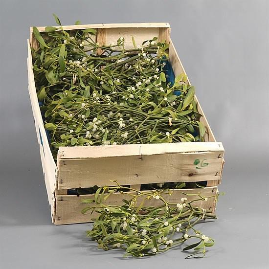 Mistletoe x bunch
