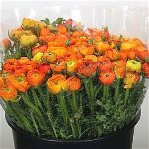 Ranunculus Elegance Orange