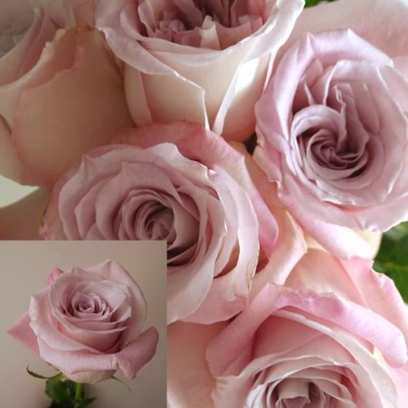 Rose Bridal Dusky Pink