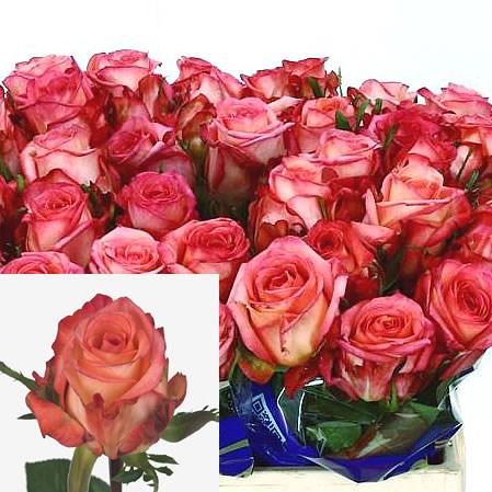 Rose Olivia