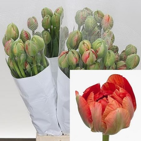 TULIPS - FRENCH GUDOSHNIK DOUBLE