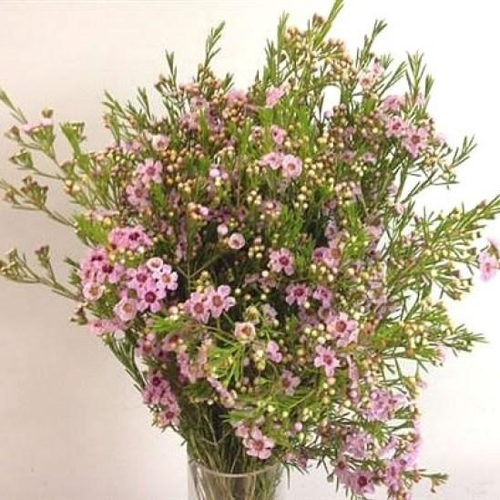 Waxflower Raspberry Ripple