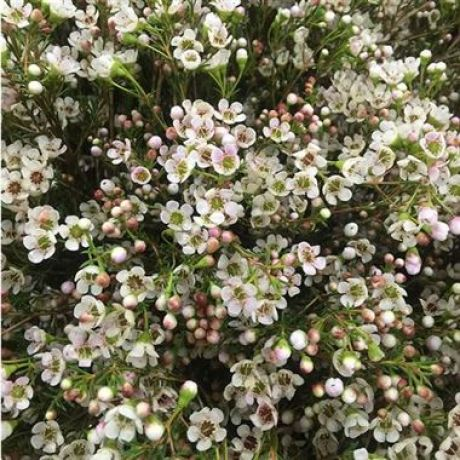 Waxflower Maya