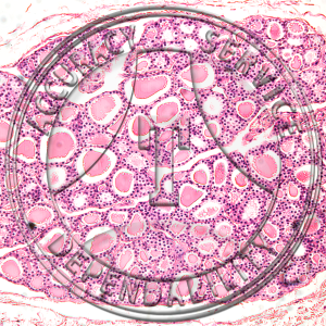 Cuboidal Epithelium Slide HA2-10 Cuboidal epithelium; thyroid, section.