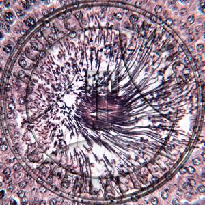 Testis Spermatogenesis Spermiogenesis Prepared Microscope Slide