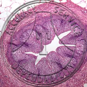 Ureter Prepared Microscope Slide