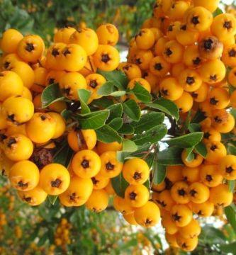 Frutos de piracantha