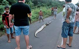 Cobra de nove metros ataca menina em Belém