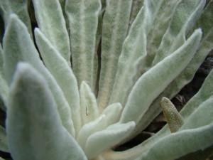 Planta de fleece