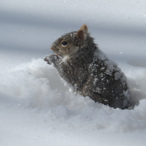 Squirrel foraging in the snow.