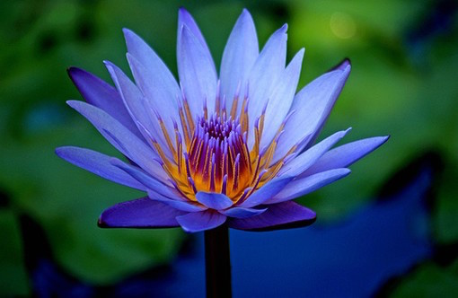 Secrets of the ancient egyptian sacred blue lotus kathy j forti phd and anti convulsant blue lotus flower photo mightylinksfo