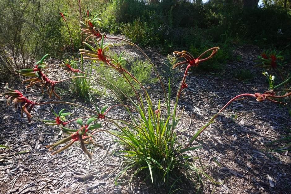 Fleur Patte de Kangourou