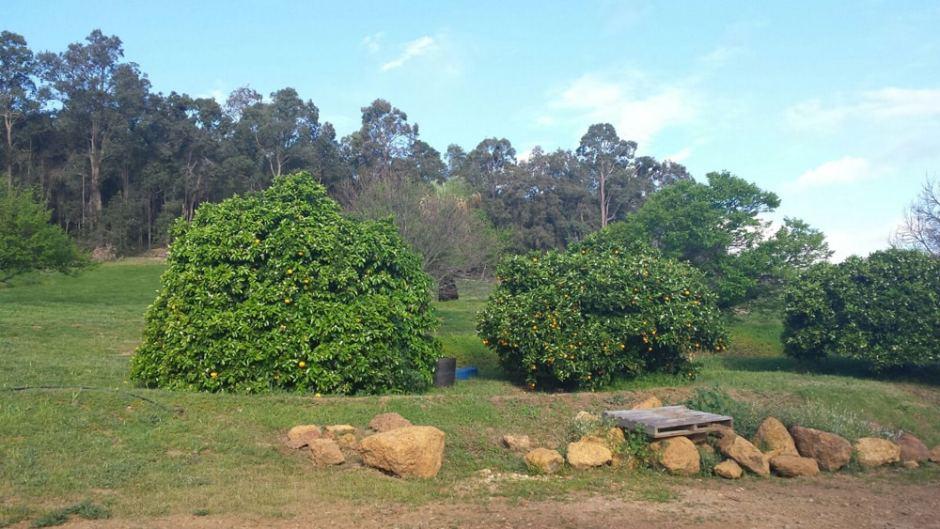 Les arbres, oranges, citrons...