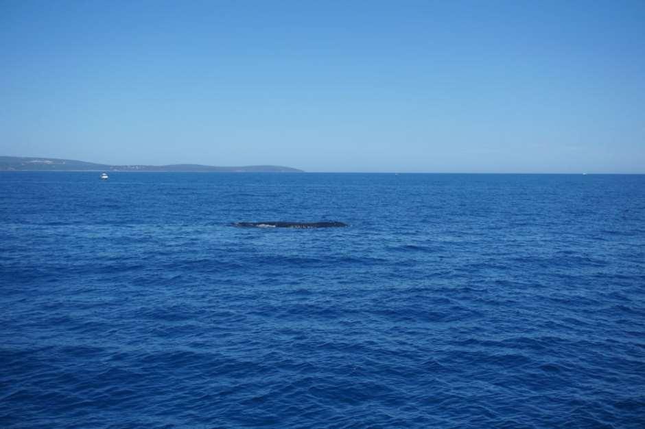 baleine-australie-1