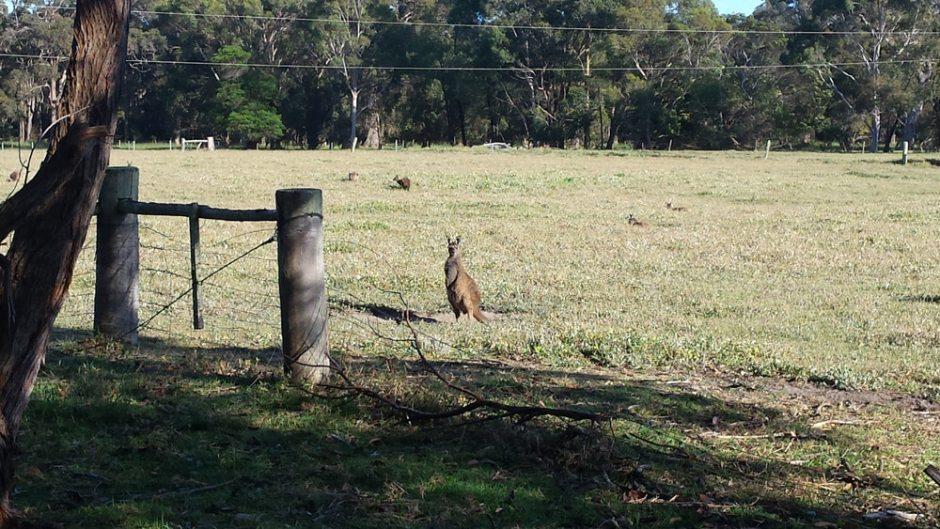 Les kangourous au réveil !