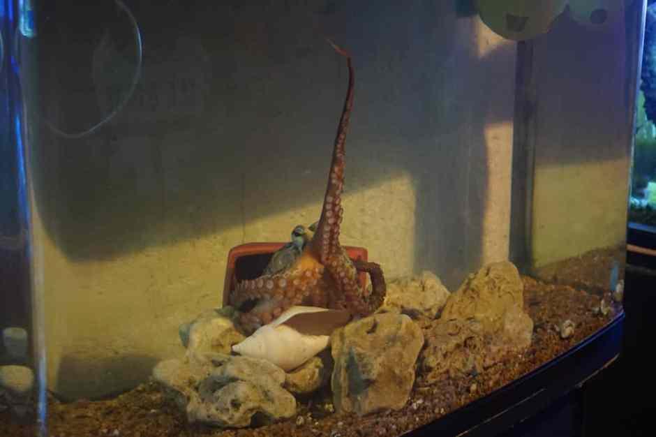 L'octopus qui tend sa tentacule pour manger