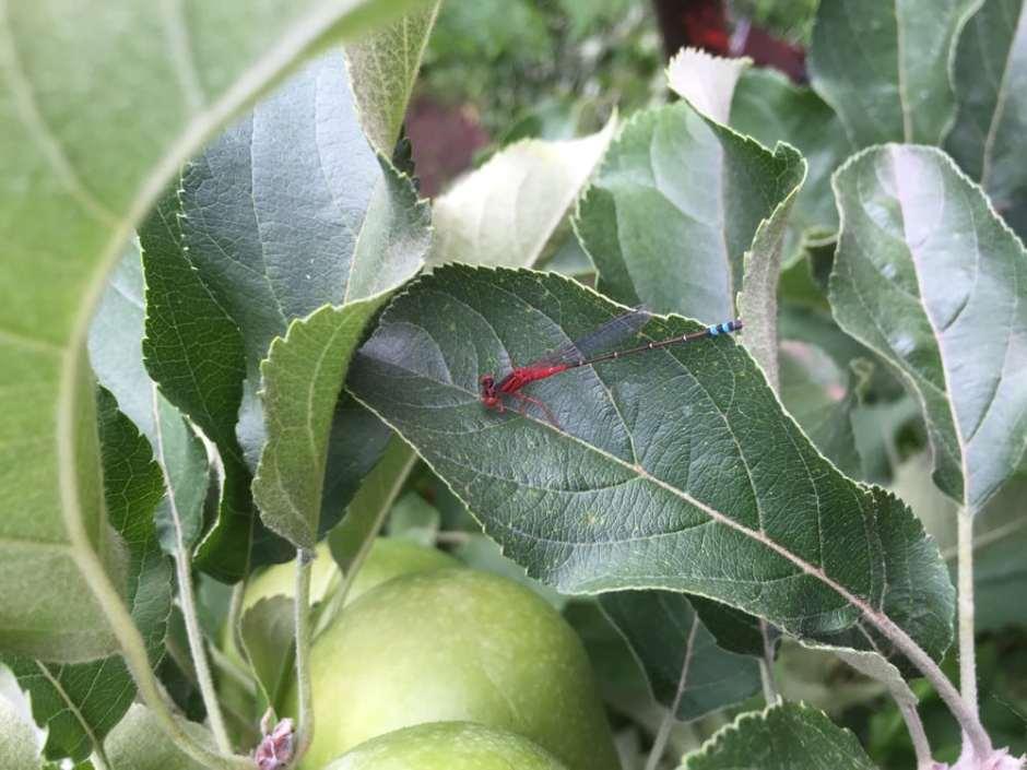 apple-libellule