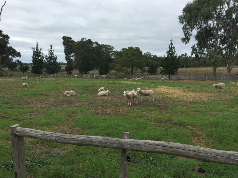 Une partie des moutons dans leur pré