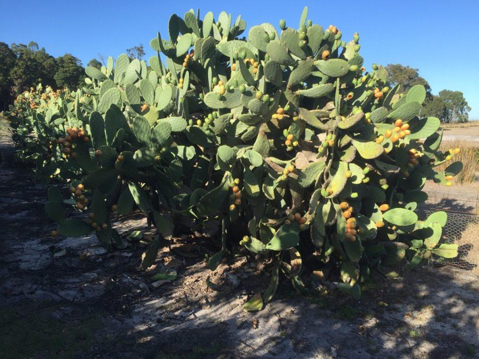Les cactus de plus près avec leur fruits : les figues de barbarie