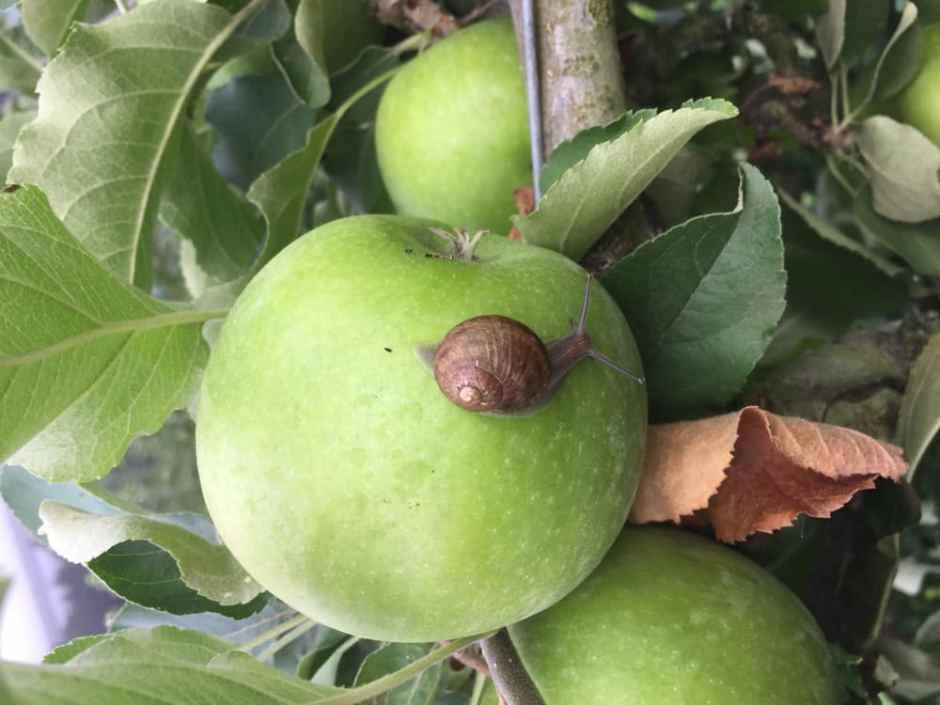 snails-apple