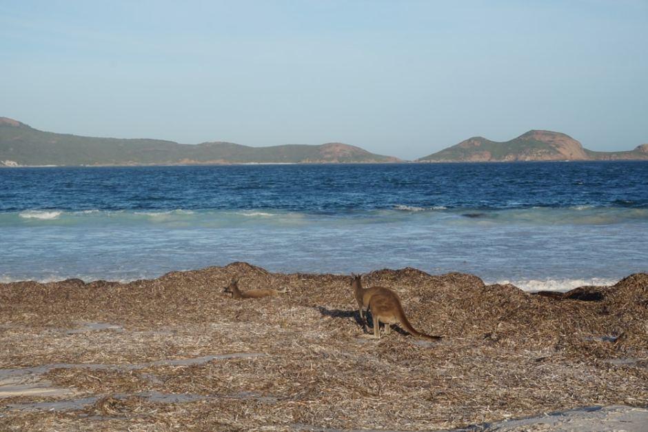 Les kangourous de Lucky Bay