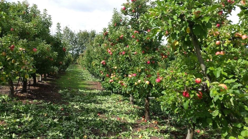 pruning-apple