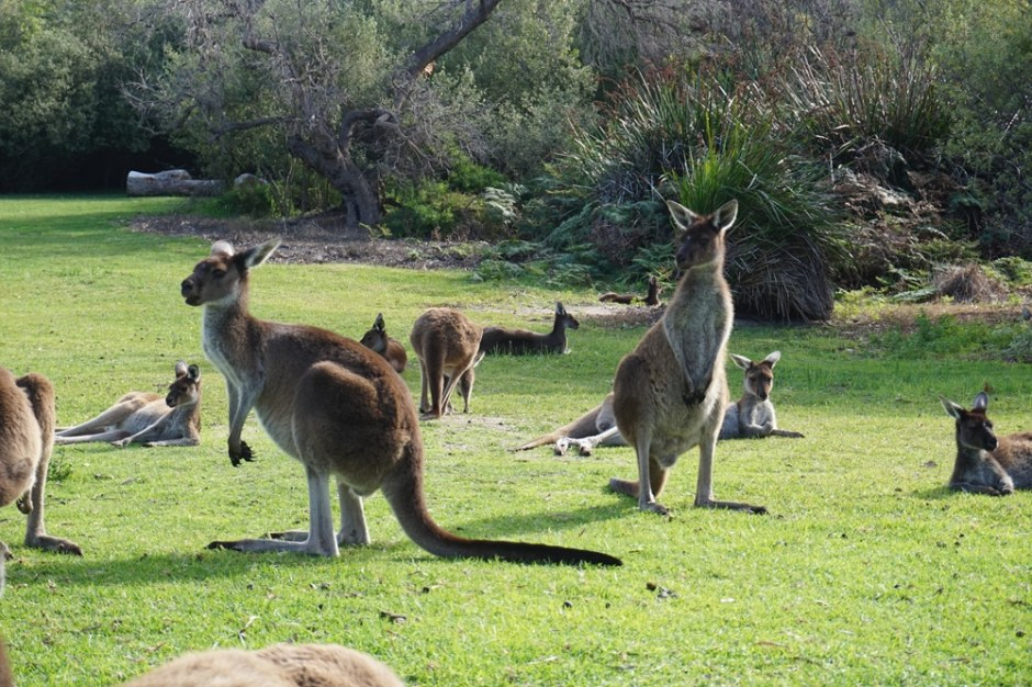 yanchep-national-park-kangourou
