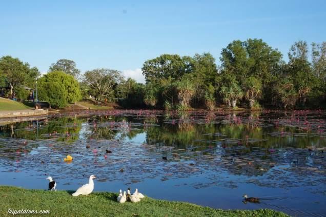 darwin-ducks