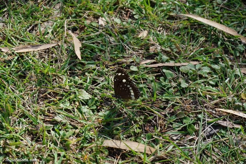 nitmiluk-butterfly