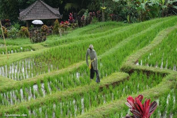 rice-terrace-jatiluwih-6